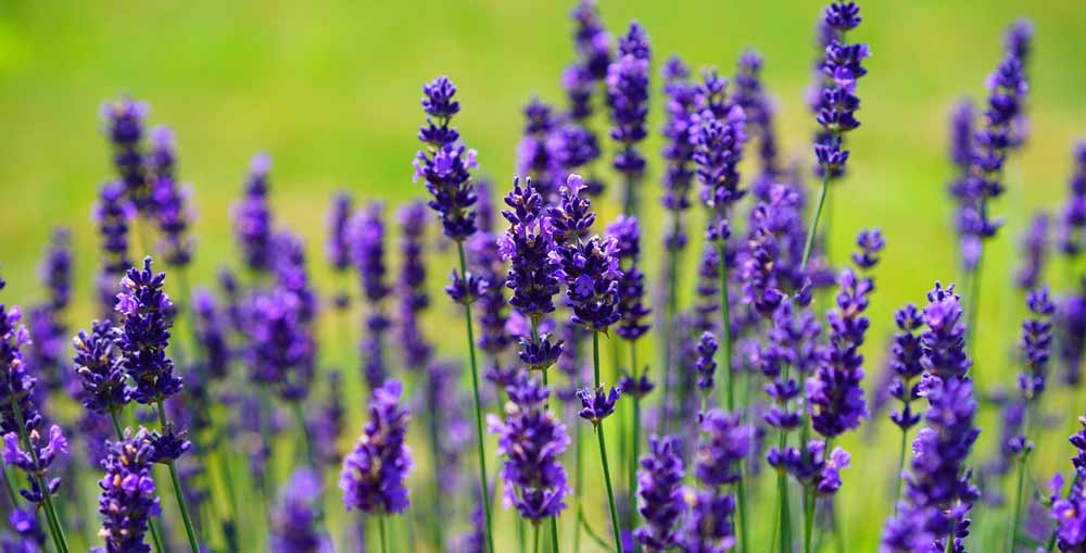 Lavender, Cinnamon, Baking Soda – health tips